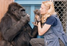 In One Minute Koko The Gorilla Shares A Secret We All Need To Hear