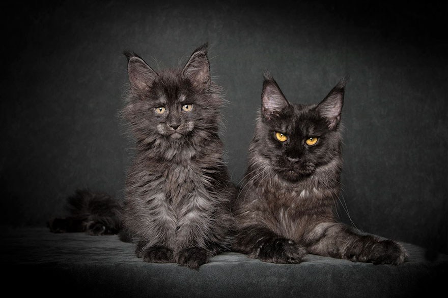 65 Breathtaking Pictures Of Maine Coons, The Largest Cats In The