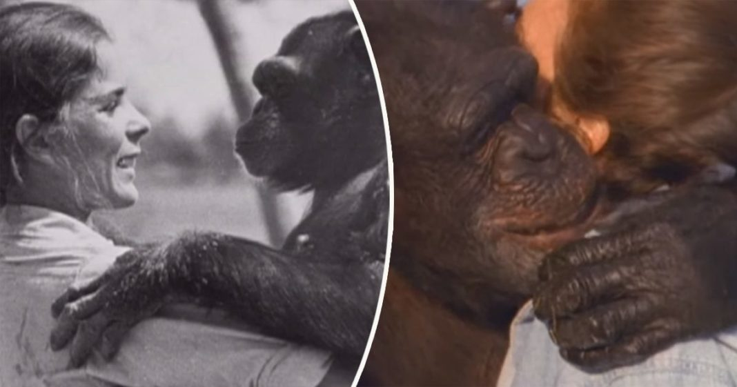 25 Years Later A Woman Is Reunited With Two Chimpanzees In A Heart-Warming Video