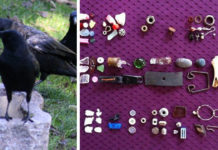 8-Year-Old Girl Has Been Feeding A Crow For 4 Years, And Now Receives Gifts From It