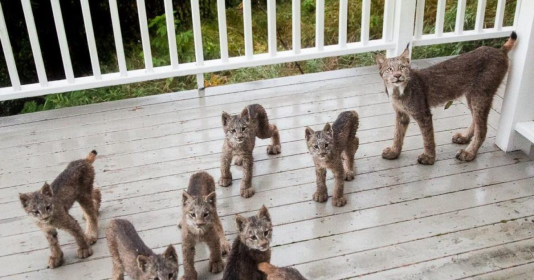 Alaskan Man Wakes Up To Find Adorable Family Of Lynx Playing On His Porch