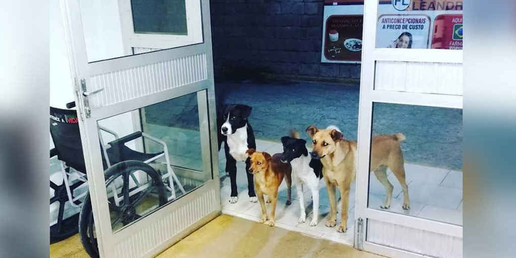 Homeless Man Admitted To Hospital, His Stray Dog Friends Wait For Him At The Door