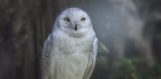 Do You Often Come Across White Owls? This Is What It Means