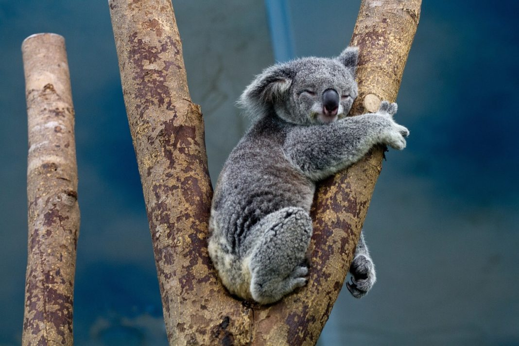 Is The Koala Your Spirit Animal: Consider Taking It Slow